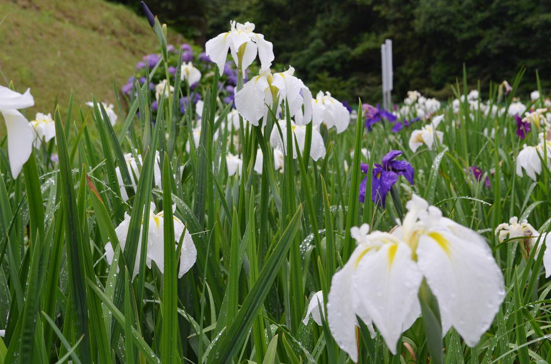 平川動物公園花しょうぶまつり02